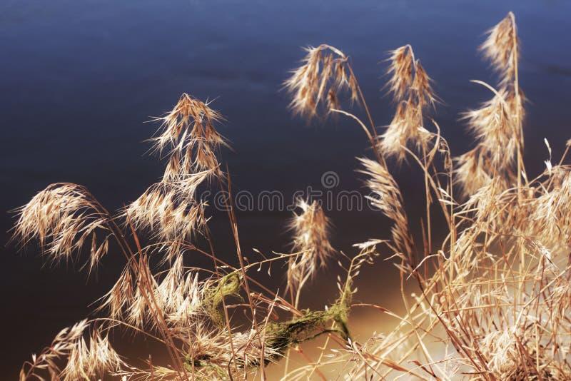 η ξηρά χλόη από τον ποταμό στοκ φωτογραφία με δικαίωμα ελεύθερης χρήσης