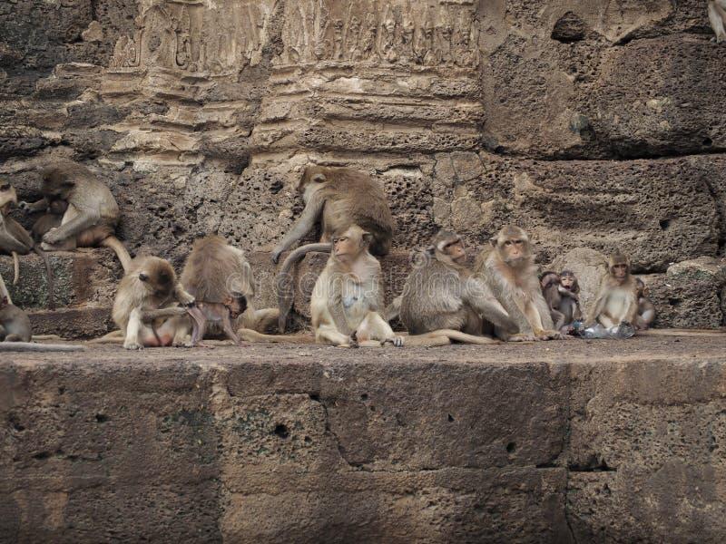 η οικογένεια μωρών καλλωπίζει τη μητέρα πιθήκων macaque της στοκ φωτογραφίες με δικαίωμα ελεύθερης χρήσης