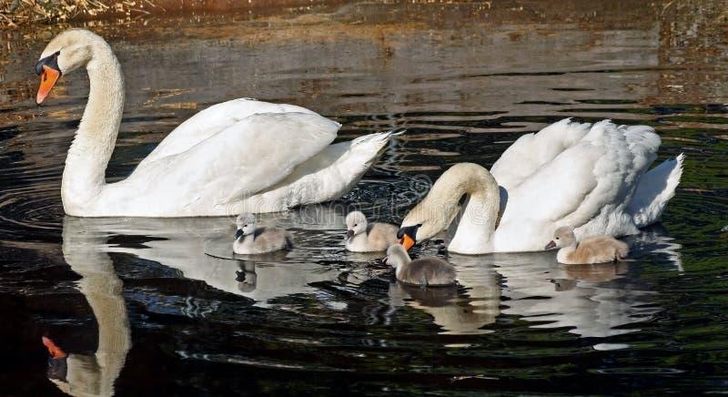 Η οικογένεια των βουβόκυκνων έξω για ένα πρωί κολυμπά - οι μικροί κύκνοι είναι 3 ημέρες παλαιές στοκ φωτογραφία με δικαίωμα ελεύθερης χρήσης