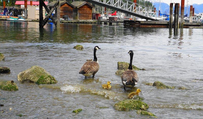 Η οικογένεια των καναδικών χήνων με το νέο χηνάρι με το κίτρινο φτέρωμα κολυμπά στενό σε επάνω νερού στοκ φωτογραφία με δικαίωμα ελεύθερης χρήσης