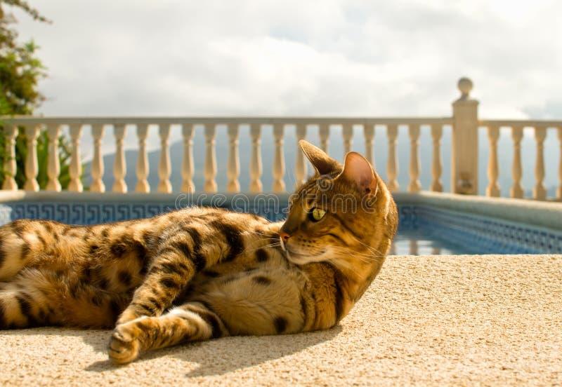 Η οκνηρή γάτα της Βεγγάλης βρίσκεται άνετα κοντά στην πισίνα στοκ εικόνα