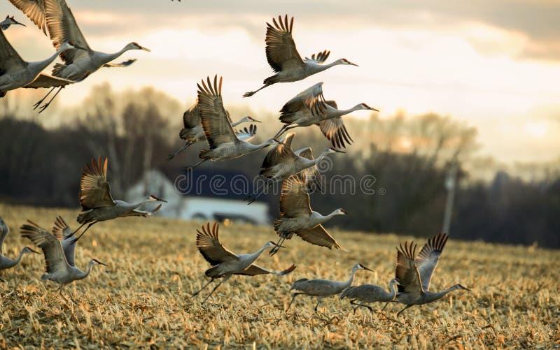 Η ομάδα γερανών sandhill απογειώνεται στοκ εικόνα με δικαίωμα ελεύθερης χρήσης