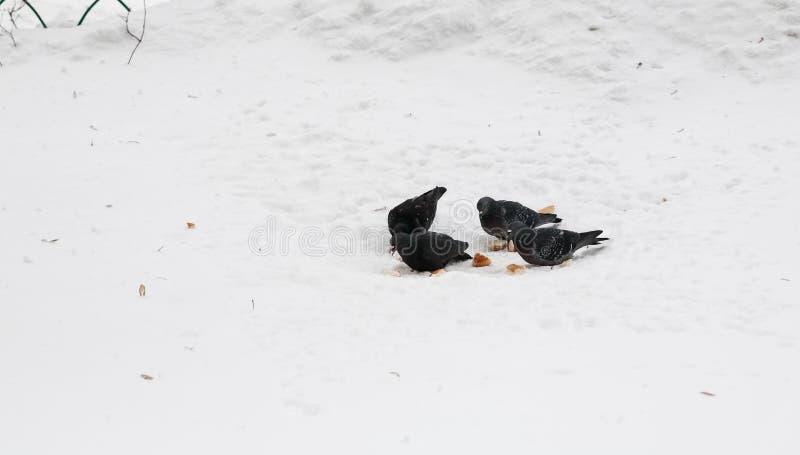 Η ομάδα περιστεριών τρώει το ψωμί στο χιόνι στοκ εικόνες