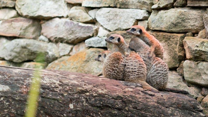 Η ομάδα το πάγωμα Meerkats στοκ φωτογραφίες με δικαίωμα ελεύθερης χρήσης