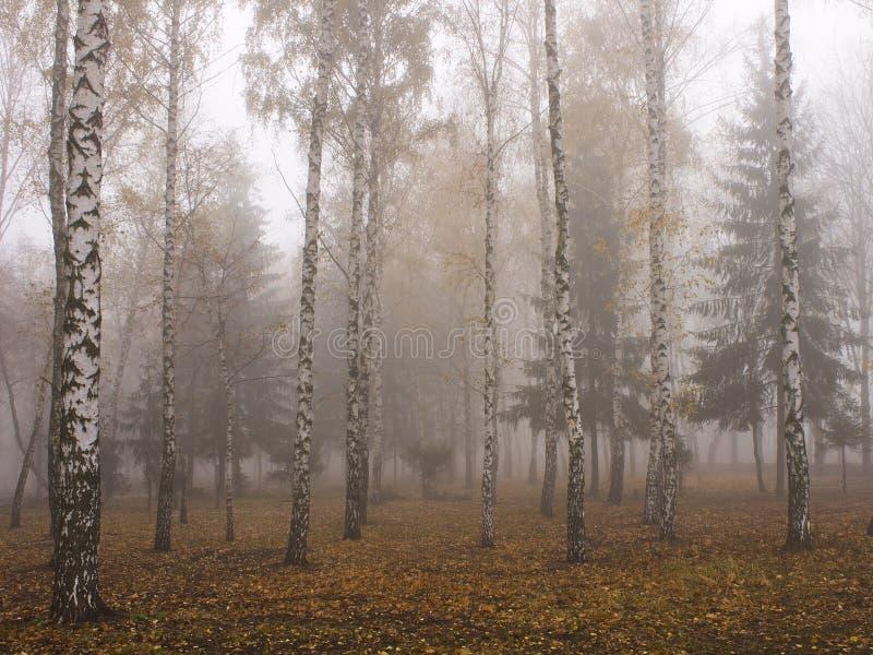 Η ομίχλη στο άλσος σημύδων το κρύο πρωί το Νοέμβριο στοκ φωτογραφία με δικαίωμα ελεύθερης χρήσης