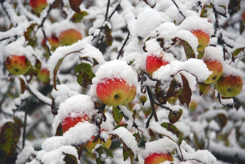 Η ομορφιά της βόρειας φύσης Τα χειμερινά μήλα είναι διακοσμημένος κήπος χιονιού στοκ φωτογραφίες