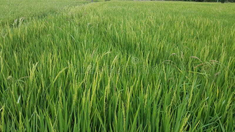 Τομέας ρυζιού στην επαρχία στοκ εικόνα με δικαίωμα ελεύθερης χρήσης