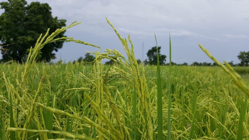 Τομέας ρυζιού στην επαρχία στοκ εικόνες