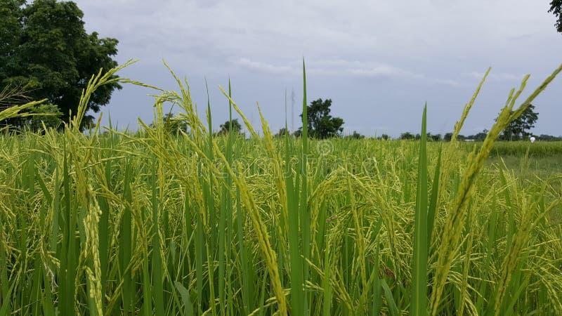 Τομέας ρυζιού στην επαρχία στοκ φωτογραφία με δικαίωμα ελεύθερης χρήσης