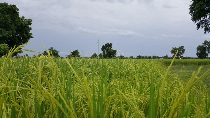 Τομέας ρυζιού στην επαρχία στοκ εικόνες με δικαίωμα ελεύθερης χρήσης