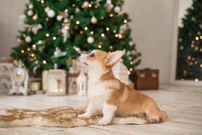 Η ουαλλέζικη ζακέτα Corgi κουταβιών κάθεται στο πάτωμα σε μια κλινοστρωμνή γουνών στο υπόβαθρο του χριστουγεννιάτικου δέντρου στοκ εικόνες