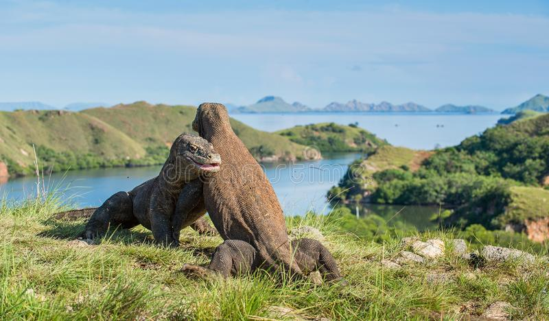 Η πάλη του komodoensis Varanus δράκων Komodo για την κυριαρχία στοκ φωτογραφίες με δικαίωμα ελεύθερης χρήσης