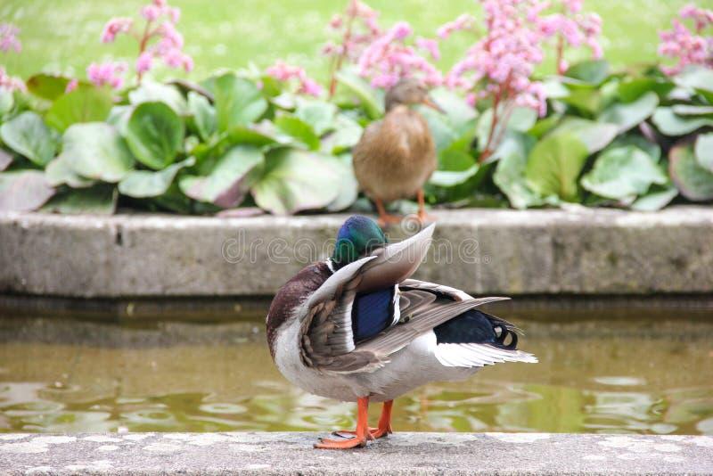 Η πάπια καθαρίζει τα φτερά στην ακτή ενός fontain με το πράσινο νερό στοκ εικόνα