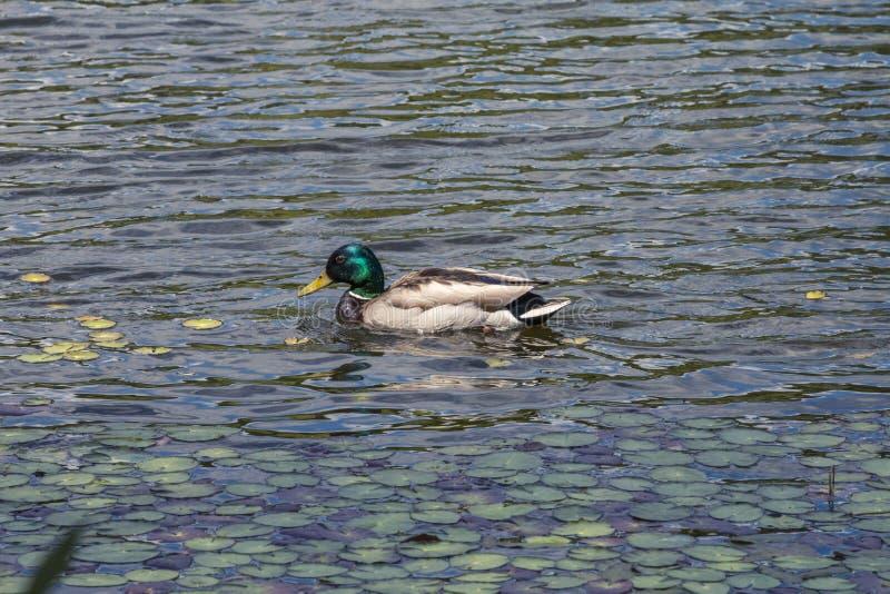 Η πάπια κολυμπά στη λίμνη στοκ φωτογραφία