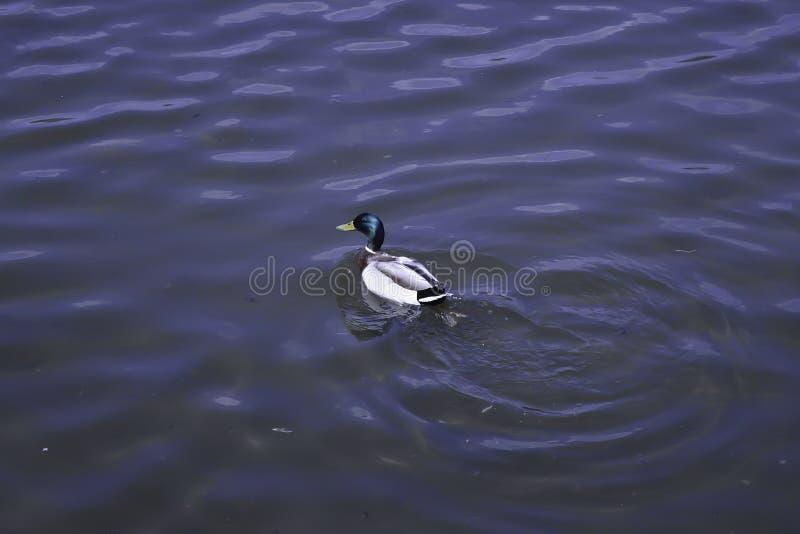 Η πάπια πρασινολαιμών κολυμπά σε μια λίμνη στοκ φωτογραφίες