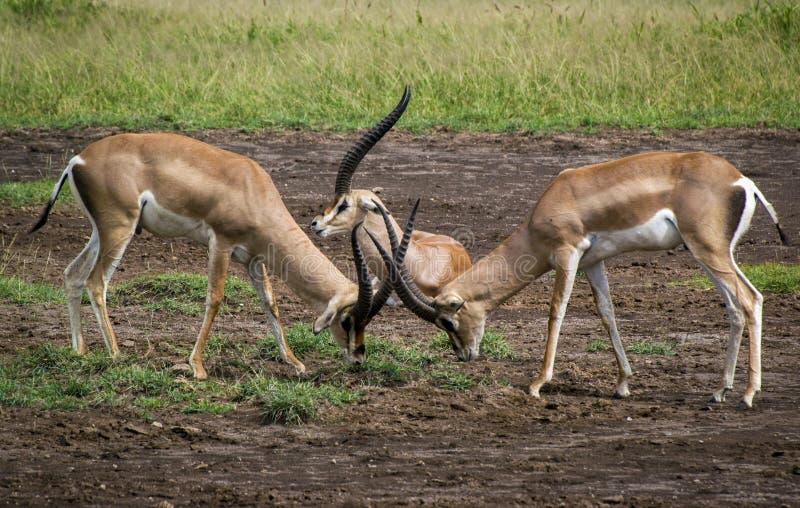 Η πάλη των gazelles στοκ φωτογραφία