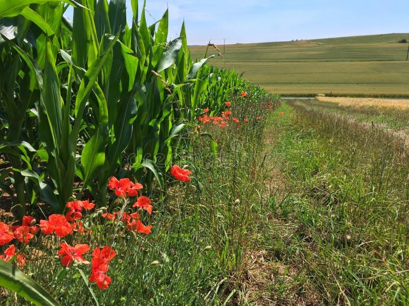 Η παπαρούνα ανθίζει την άνθηση κατά μήκος ενός τομέα καλαμποκιού στο γερμανικό Eifel το καλοκαίρι στοκ εικόνα με δικαίωμα ελεύθερης χρήσης