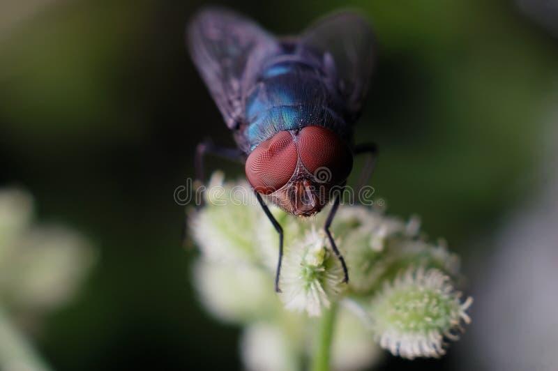 Μια μύγα με την παραμόρφωση του σύνθετου ματιού στοκ εικόνα