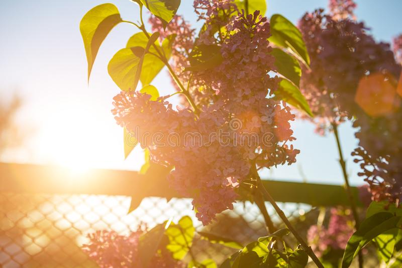 Η πασχαλιά ανθίζει την άνοιξη στον ήλιο στοκ εικόνα