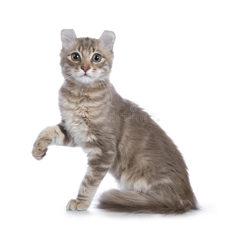 Η πασχαλιά το αμερικανικό γατάκι μπουκλών που απομονώθηκε στο λευκό στοκ φωτογραφία