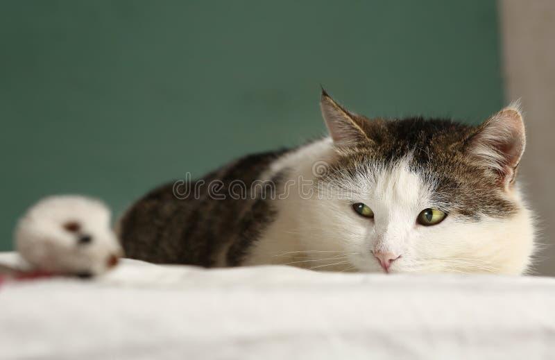 Η παχιά γάτα εξετάζει το στενό επάνω πορτρέτο ποντικιών στοκ φωτογραφίες