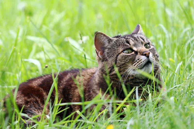 Η περίεργη καφετής-μαύρη γάτα χαλαρώνει στη χλόη στοκ εικόνα