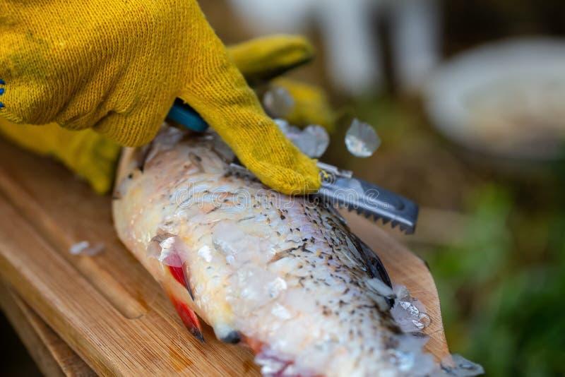 Η περικοπή και καθαρίζει τα φρέσκα ψάρια ποταμών ή λιμνών στα κίτρινα γάντια από την κλίμακα και τα πτερύγια στο ξύλινο γραφείο σ στοκ εικόνες με δικαίωμα ελεύθερης χρήσης