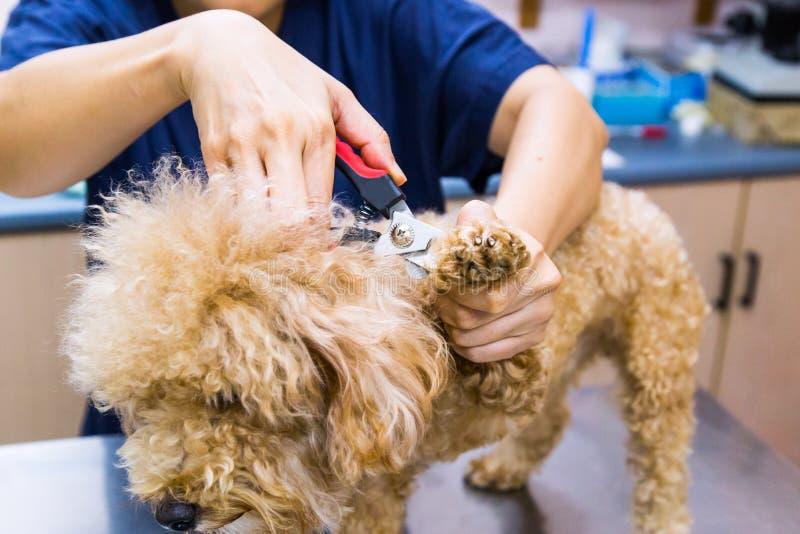 Η περιποίηση κτηνιάτρων έκοψε τα καρφιά σκυλιών στην κλινική στοκ εικόνα