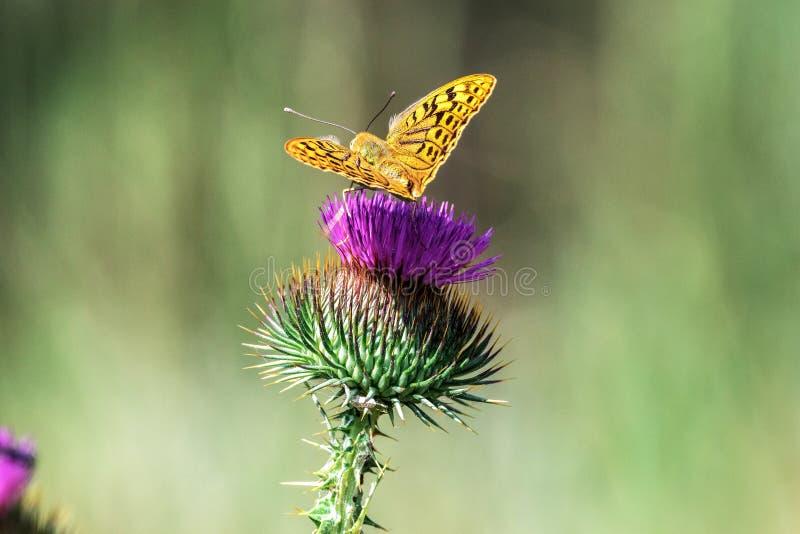 Η πεταλούδα άγριας φύσης κάθεται στο Κιργίσιο Cirsium στοκ εικόνες