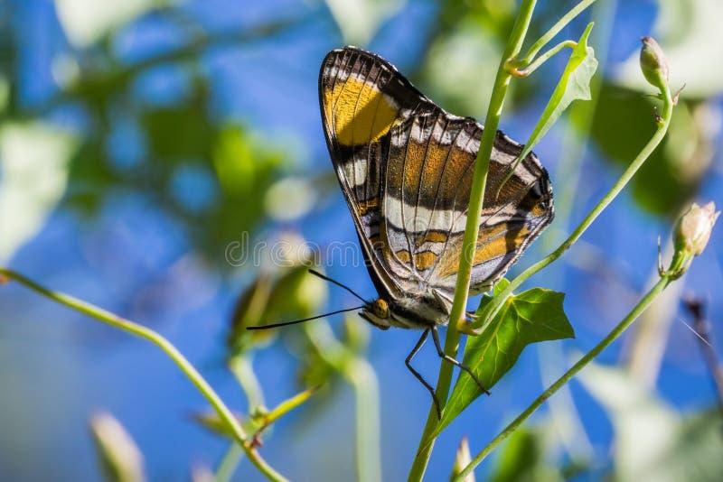 Η πεταλούδα αδελφών Καλιφόρνιας (californica Adelpha) που στηρίζεται με τα φτερά της δίπλωσε σε μια άμπελο δόξας πρωινού  υπόβαθρ στοκ φωτογραφίες με δικαίωμα ελεύθερης χρήσης