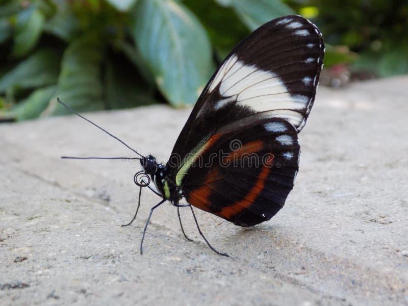 Η πεταλούδα κάθεται επάνω στον τοίχο πετρών στοκ εικόνα