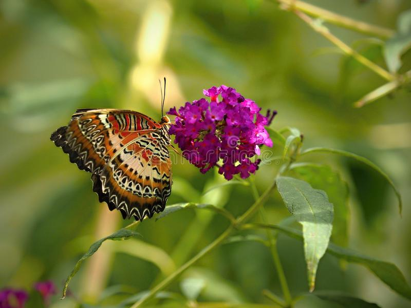 Η πεταλούδα κάθεται σιωπηλά στο λουλούδι - η πεταλούδα στο ΖΩΟΛΟΓΙΚΟ ΚΉΠΟ, κλείνει επάνω στοκ φωτογραφία