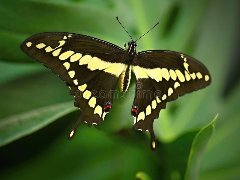 Η πεταλούδα κάθεται σιωπηλά στο φύλλο - η πεταλούδα στο ΖΩΟΛΟΓΙΚΟ ΚΉΠΟ, κλείνει επάνω στοκ φωτογραφίες