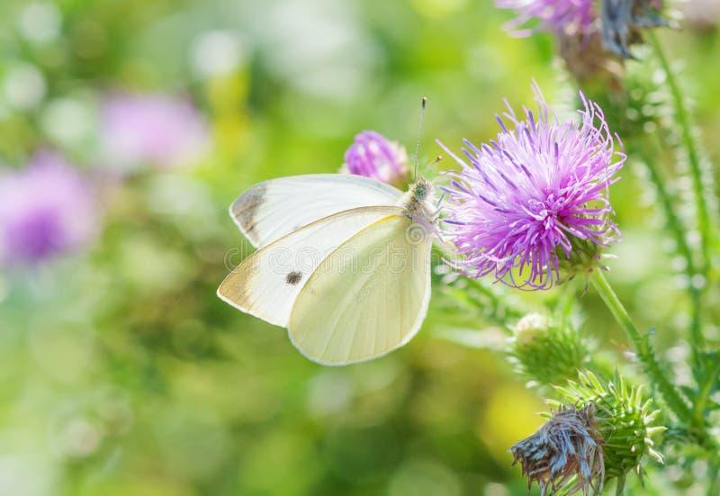 Η πεταλούδα λάχανων είναι σε ένα ρόδινο λουλούδι κάρδων στοκ εικόνες με δικαίωμα ελεύθερης χρήσης