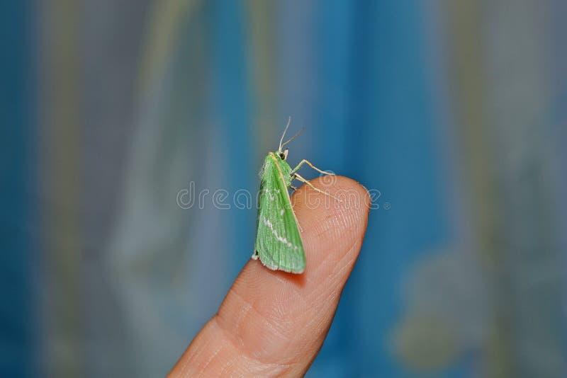 Η πεταλούδα νύχτας κάθεται στο δάχτυλο στοκ εικόνες με δικαίωμα ελεύθερης χρήσης