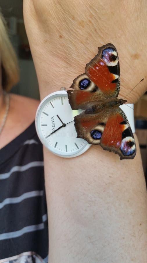 Η πεταλούδα του ματιού peacock σε ετοιμότητα Πολύ όμορφο butterf στοκ εικόνες