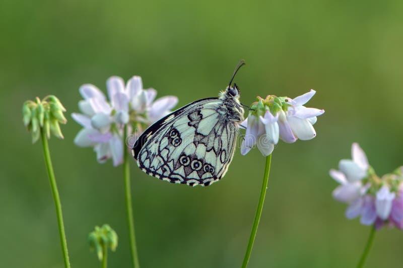 Η πεταλούδα galathea Melanargia κάθεται μεταξύ ενός floral τριφυλλιού αναμένει την αυγή στοκ εικόνες