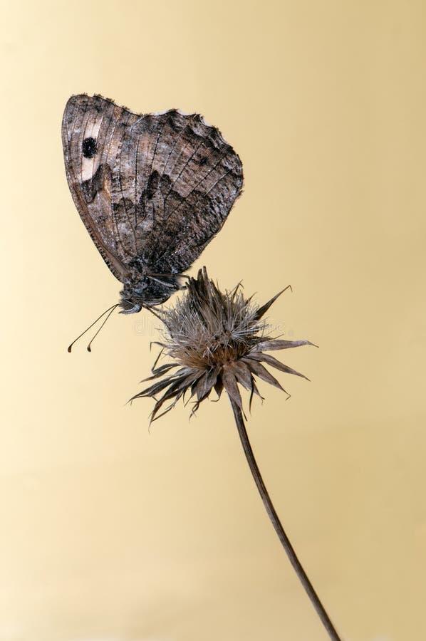 Η πεταλούδα Hyponephele lycaon κάθεται σε μια λεπίδα της χλόης στοκ φωτογραφίες με δικαίωμα ελεύθερης χρήσης