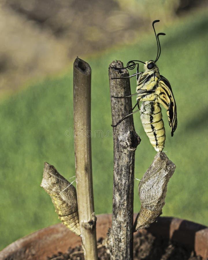 Η πεταλούδα Swallowtail προέκυψε ακριβώς από τις χρυσαλίδες στοκ εικόνες με δικαίωμα ελεύθερης χρήσης