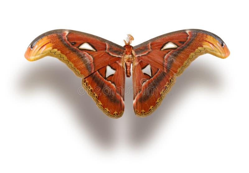 η πεταλούδα απομόνωσε το λευκό στοκ φωτογραφία με δικαίωμα ελεύθερης χρήσης