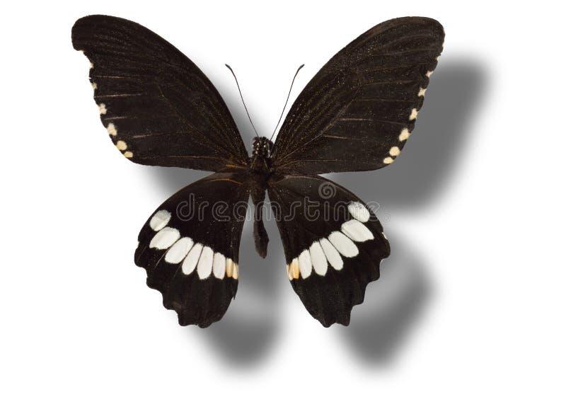 η πεταλούδα απομόνωσε το λευκό στοκ φωτογραφίες με δικαίωμα ελεύθερης χρήσης