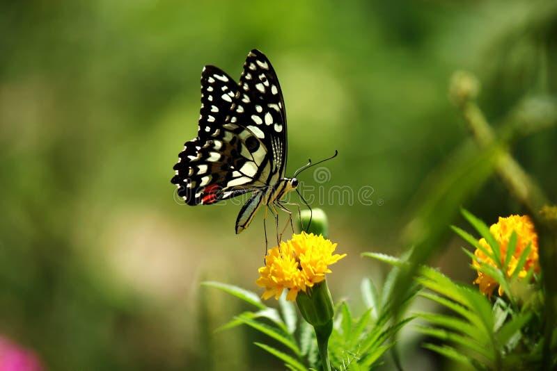 Η πεταλούδα απορροφά το νέκταρ από marigold τα λουλούδια στοκ φωτογραφία
