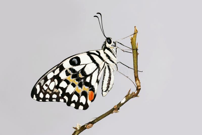 Η πεταλούδα ασβέστη στον κλάδο στοκ εικόνα