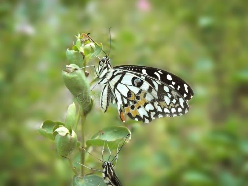 Η πεταλούδα ασβέστη στοκ εικόνα