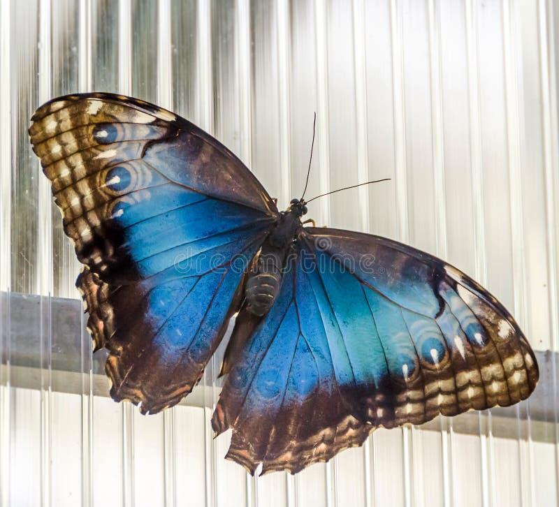 Η πεταλούδα αυτοκρατόρων (ίριδα Apatura), ευρασιατική πεταλούδα της οικογένειας Nymphalidae στοκ εικόνα