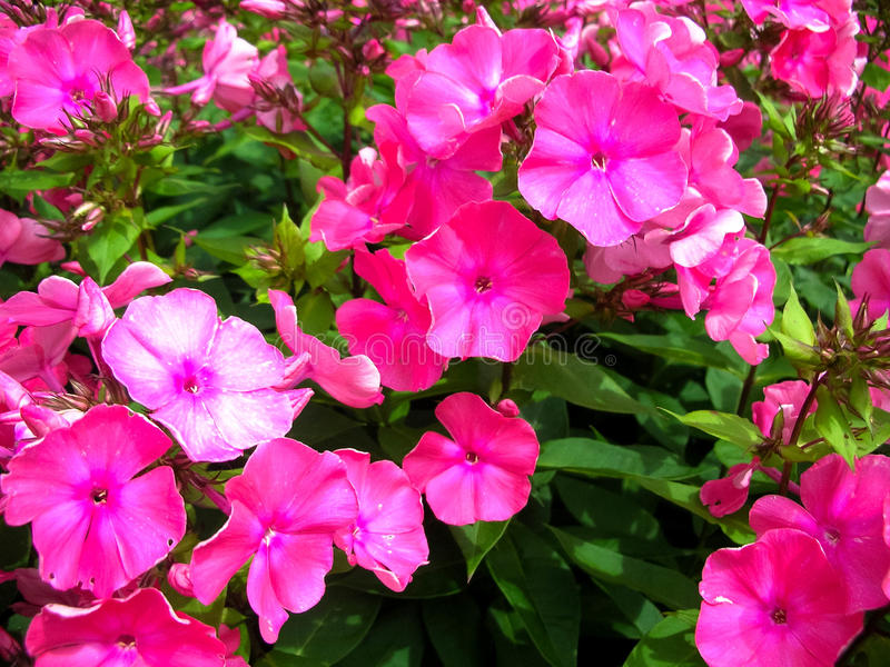 Η πετούνια είναι γένος 35 ειδών ανθίζοντας φυτών στοκ φωτογραφίες