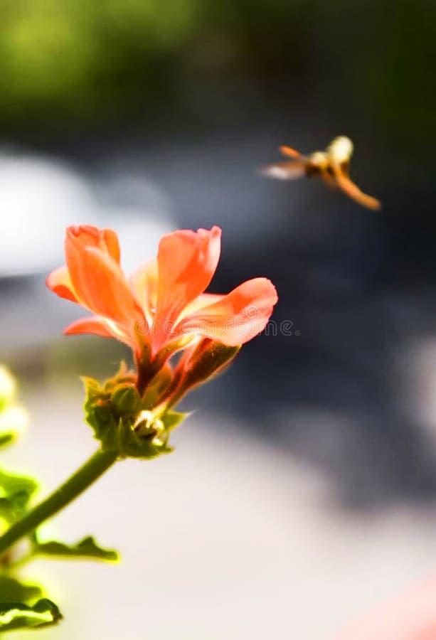 Η πετώντας σφήκα στοκ φωτογραφίες