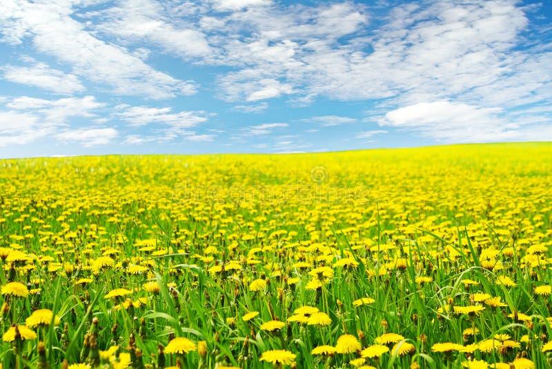 Η πικραλίδα ανθίζει το τοπίο τομέων, κίτρινο άνθος πικραλίδων στοκ εικόνα