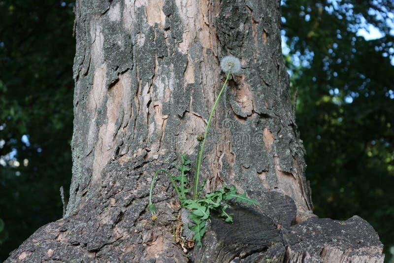 Η πικραλίδα αυξήθηκε σε ένα δέντρο Βλάστησε, άνθισε και έγινε σπόροι στοκ φωτογραφίες