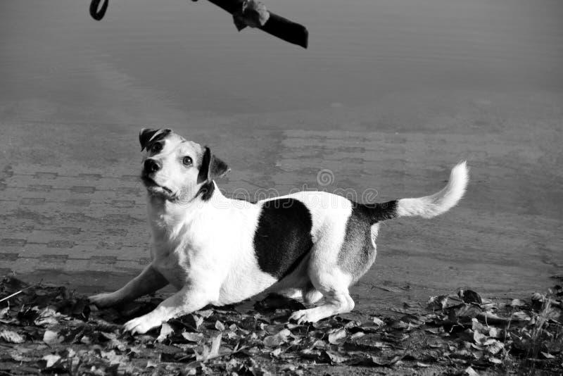 Η πιό στενή και πλάγια όψη σχετικά με ένα τρι τεριέ γρύλων χρώματος russel που στέκεται στην παραλία και που εξετάζει το παιχνίδι στοκ φωτογραφία